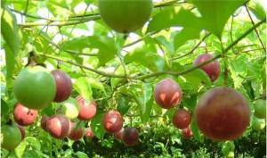 西番莲和百香果的区别