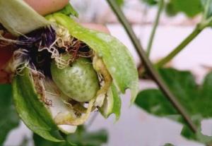 百香果蓟马虫害的防治方法,百香果蓟马用什么药最好