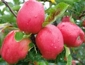 百香果可以和苹果一起吃吗