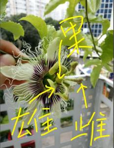 百香果花怎么分雌雄