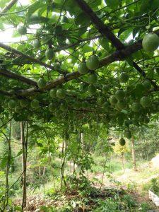百香果酒能保存多久,百香果酒的酿制方法