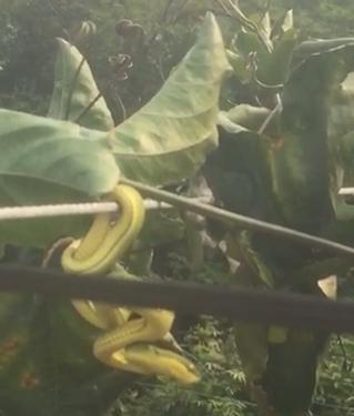 为什么百香果树会引蛇
