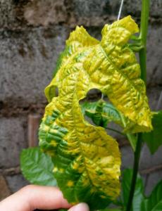 百香果叶子发黄怎么办