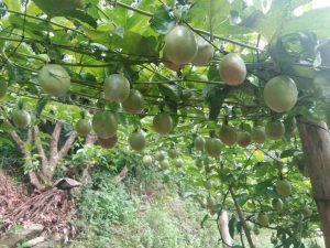 上海哪里有卖百香果