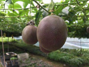百香果施什么肥料增加果的甜度