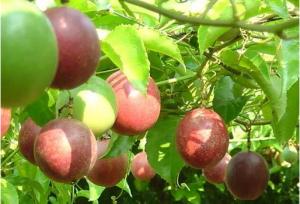 百香果熟了是什么颜色