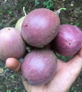 百香果的种子可以吃吗