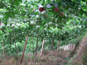 冬天可以种植百香果吗