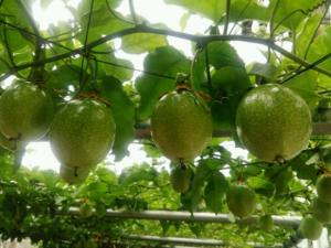 百香果四川可以种植吗