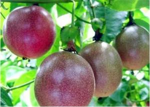 百香果南方几月种植,百香果南方能种植吗?