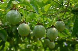 百香果东北能种植吗