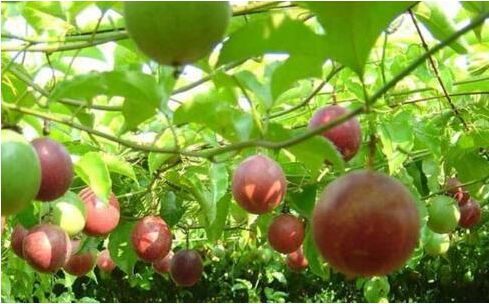 2019年还能种植百香果吗