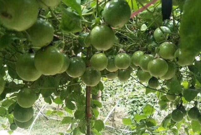 百香果种植很多人亏了,百香果种植赚钱吗
