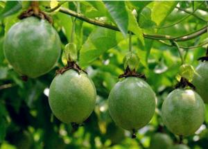 荒地可以种植百香果吗