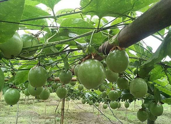 百香果种植前景怎么样