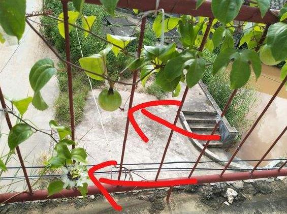 百香果的籽可以种吗