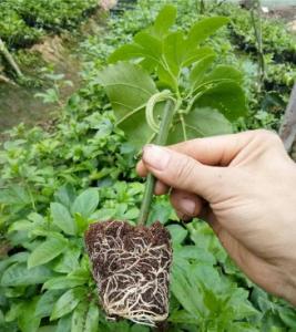 百香果果苗如何培育