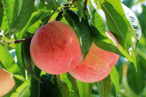 桃子能和百香果一起吃吗,桃子和百香果榨汁