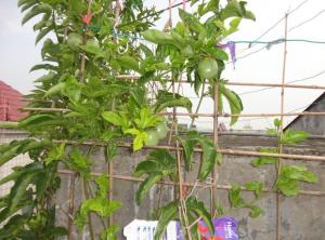 百香果盆栽怎么过冬
