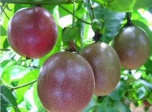 百香果种植技术与管理,百香果怎么种植方法如下