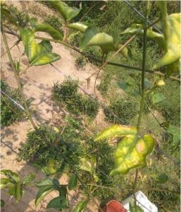 百香果叶子发黄的原因图片