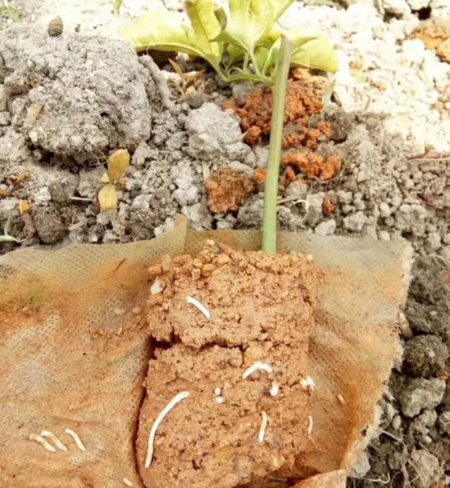 百香果幼苗长得慢的原因