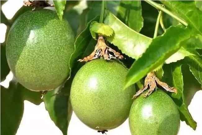 海南可以种植百香果吗