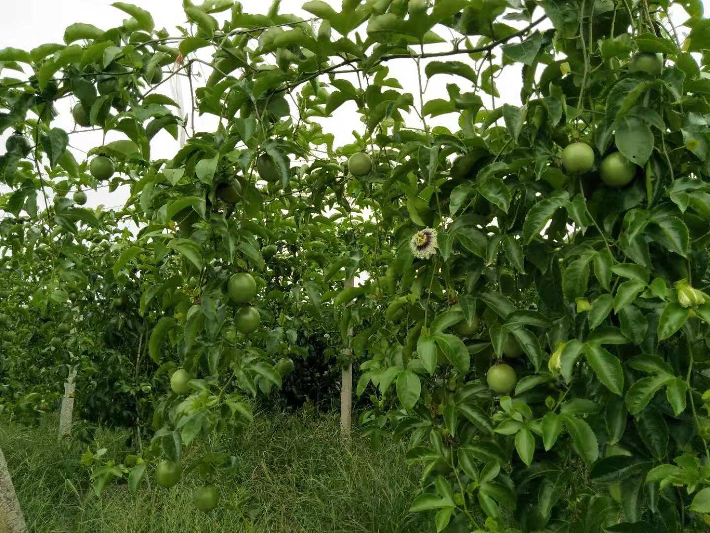 百香果高温天气对挂果率影响大
