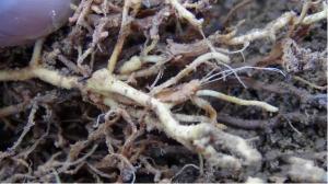百香果地下虫怎么防治