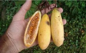 香蕉百香果到底值不值得种植