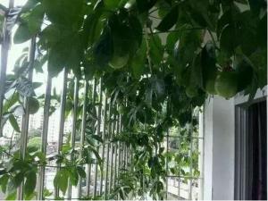 在阳台怎样种植百香果,看这1篇就够啦