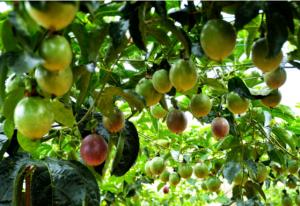 百香果种植气候条件,这4个条件满足你家就可以种