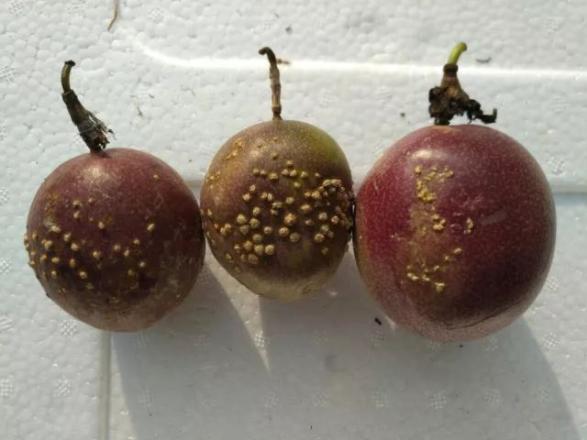 百香果7种常见病害总结