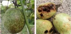 百香果常见病害有哪种,百香果7种常见病害总结