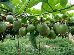 百香果种植大户为什么不赚钱