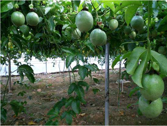 百香果种植户都在用的腐植酸肥,这3点要注意