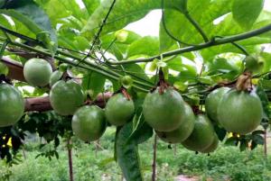 百香果叶面肥什么时候喷好,百香果叶面肥有哪些