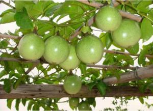 百香果的种植方法,这几点一定要注意