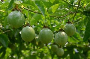 百香果缺钾症状及预防