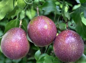 百香果施肥方法,百香果的施肥管理