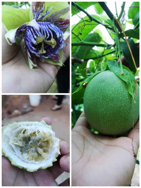 百香果种植专家那么多,真正种过的有几个