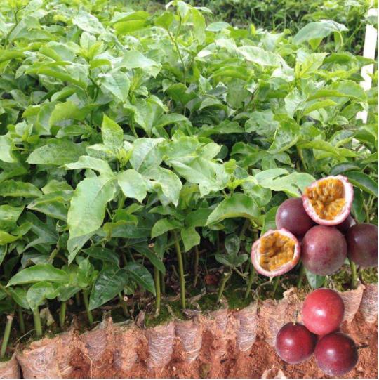 百香果育苗要选什么样的枝条