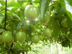 百香果生长过程如何修剪