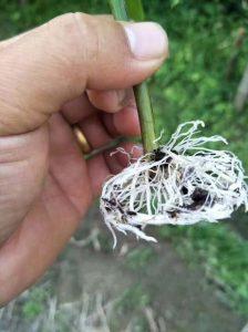 百香果苗要不要速效爆炸生根粉