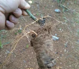 无纺布育苗袋对百香果生长是否有影响