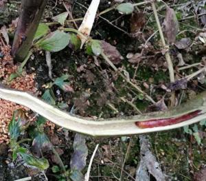 百香果咖啡木蠹蛾幼虫怎么防治
