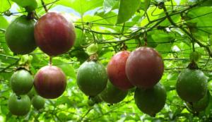 怎么提高百香果优质高产