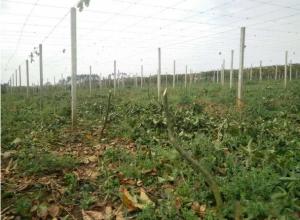 春种实战百香果底肥施放及翻耕