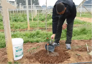 百香果定植之后应该如何正确管理