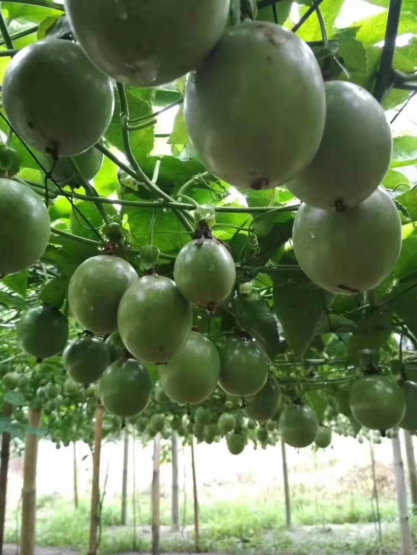 百香果20元1斤,哪个产区价格最高
